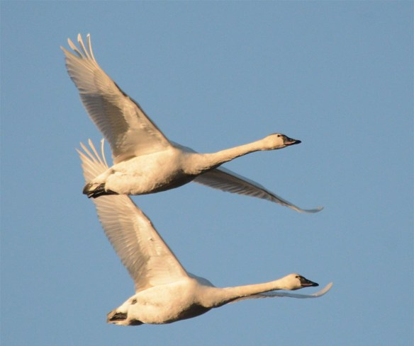 Tundra Swan 2017-58