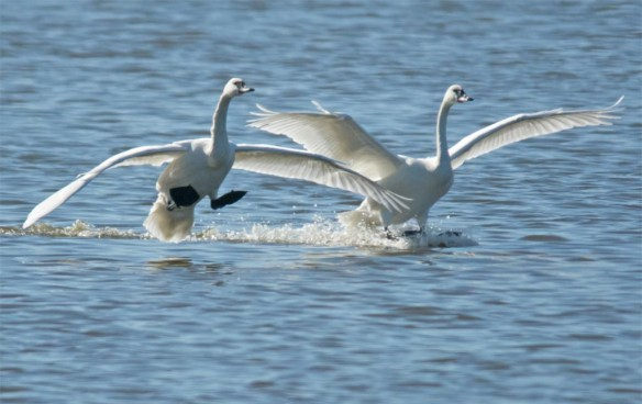 Tundra Swan 2017-63