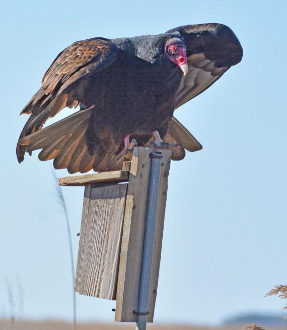 Turkey Vulture 2017-1