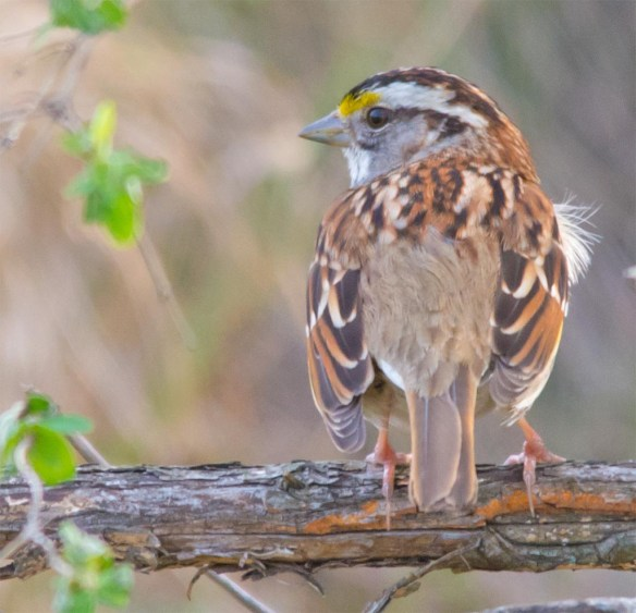 White Throated Sparrow 2017-4
