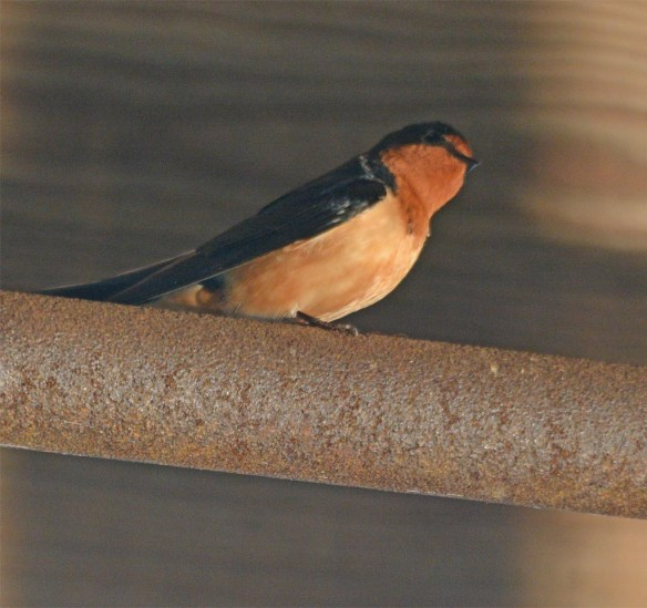 Barn Swallow 2017-3