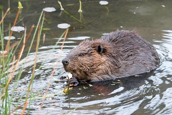 Beaver 114