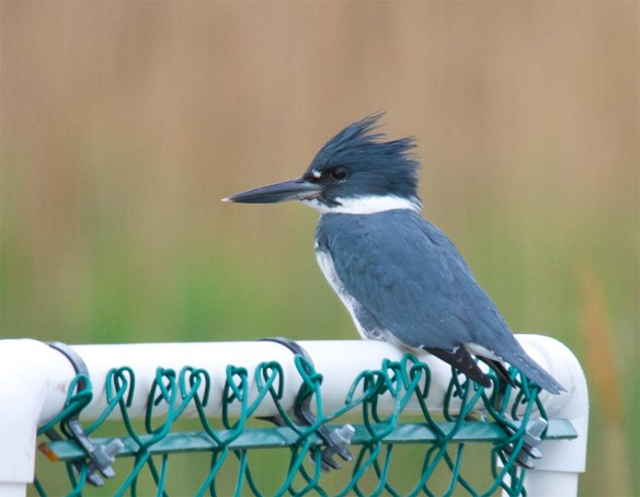 Belted Kingfisher 2017-3