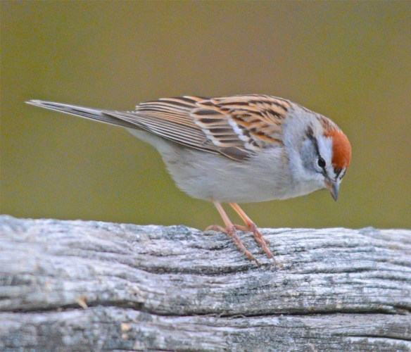 Chipping Sparrow 2017-1