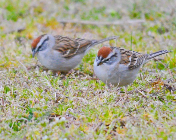 Chipping Sparrow 2017-2