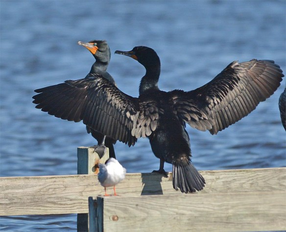 Double Crested Cormorant 2017-13