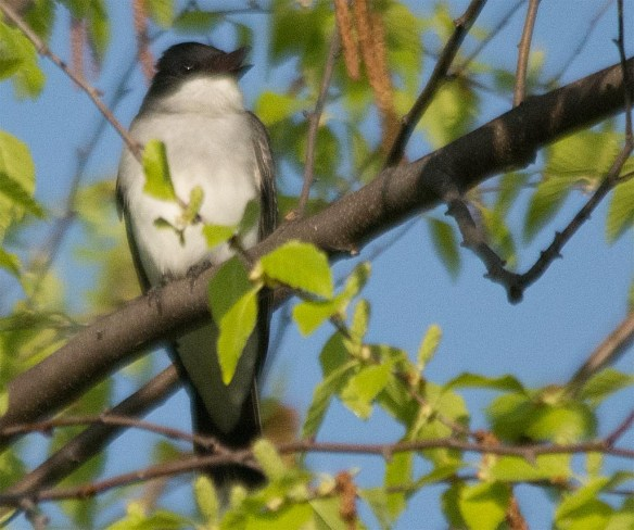 Eastern Kingbird 2017-1