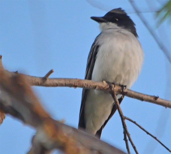Eastern Kingbird 2017-3