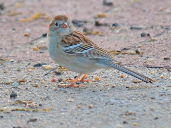 Field Sparrow 2017-1
