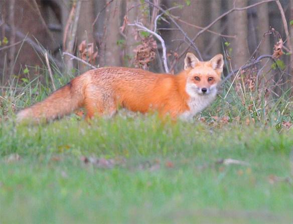 Fox 71