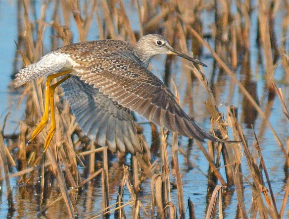 Greater Yellowlegs 2017-8