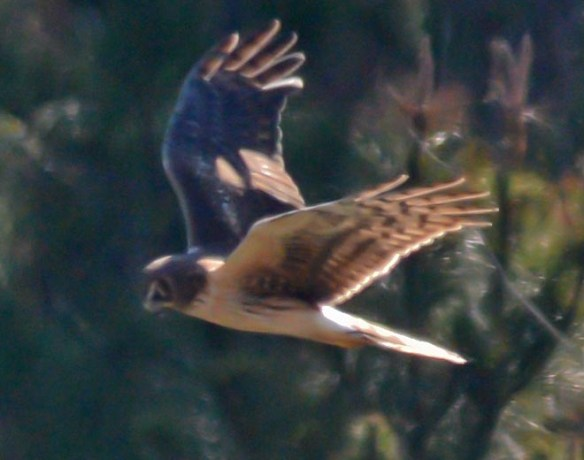 Northern Harrier 2017-10