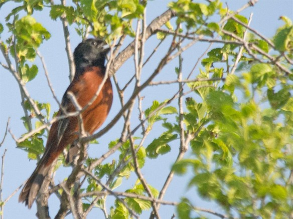 Orchard Oriole 2017-1
