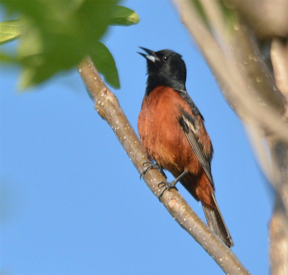Orchard Oriole 2017-4