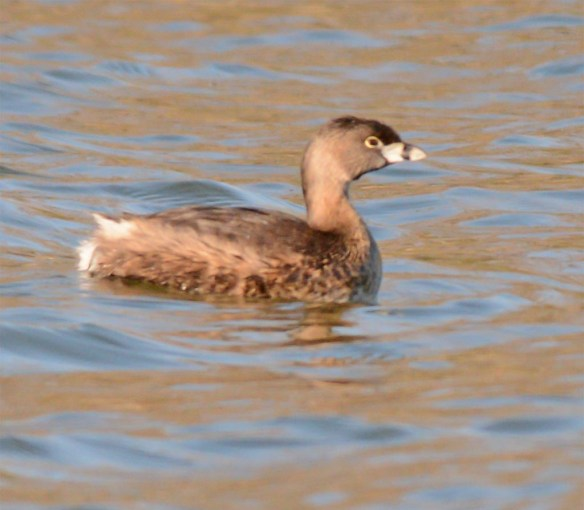 Pied Billed Grebe 2017-8