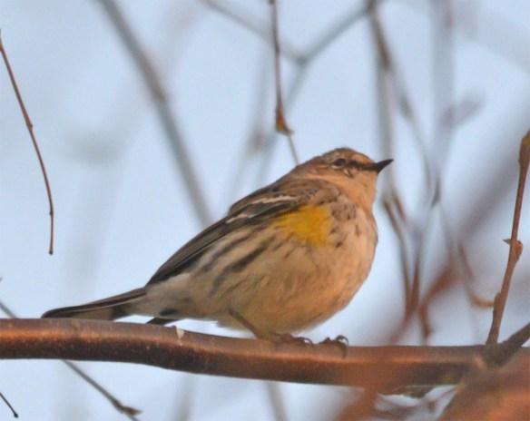 Pine Warbler 2017-3