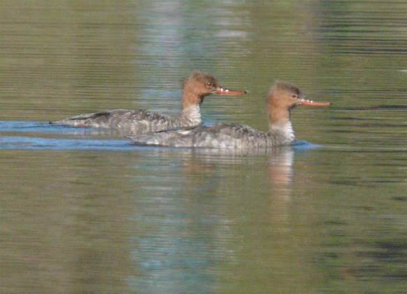Red Breasted Merganser 2017-17
