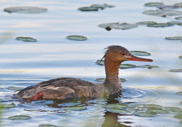 Red Breasted Merganser 2017-27