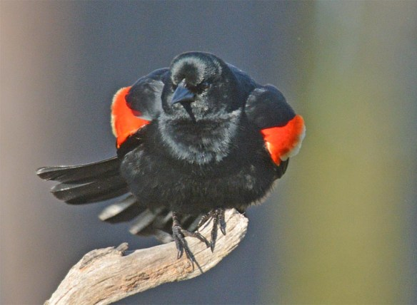 Red Winged Blackbird 2017-14