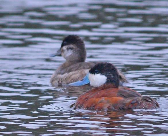 Ruddy Duck 2017-5
