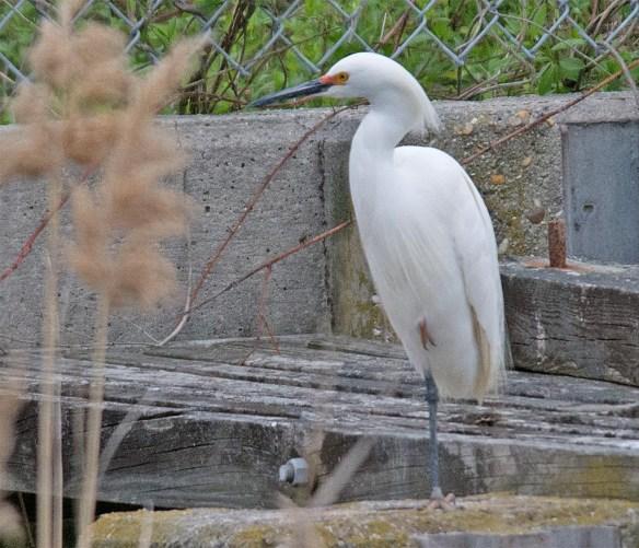 Snowy Egret 2017-11
