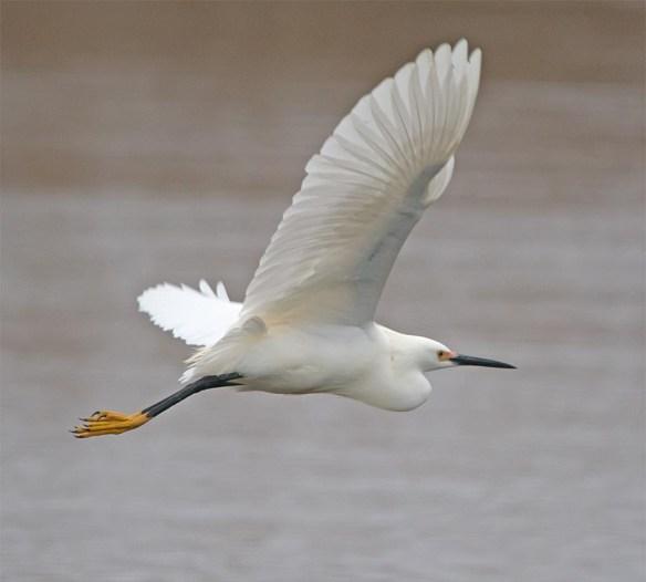 Snowy Egret 2017-18
