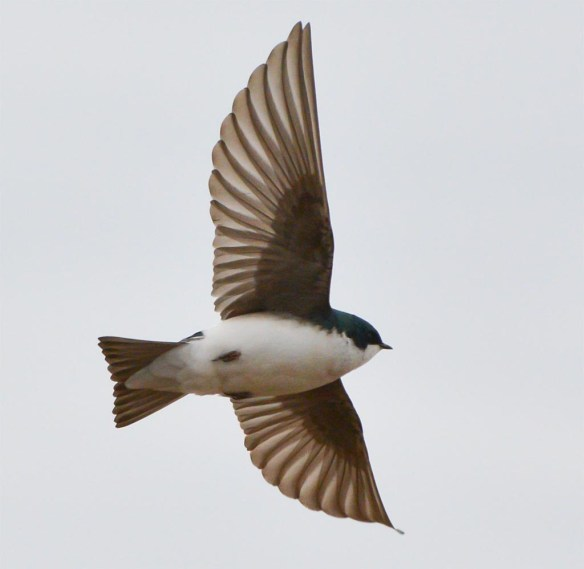 Tree Swallow 2017-13