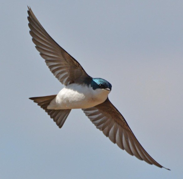 Tree Swallow 2017-21