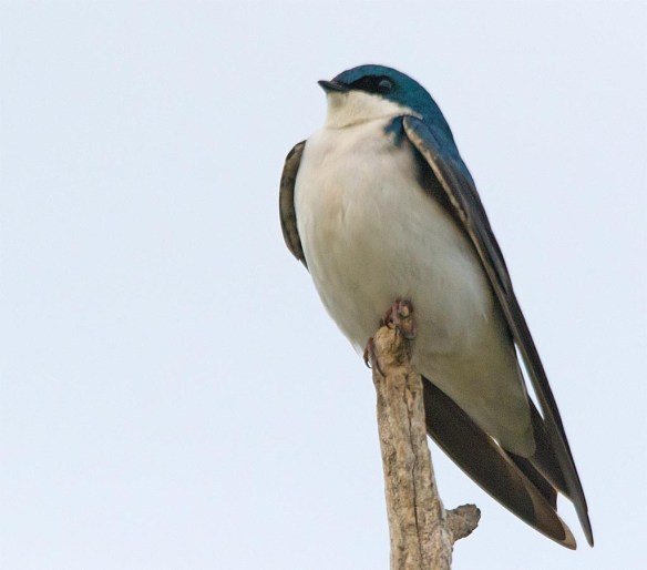 Tree Swallow 2017-33