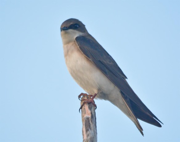Tree Swallow 2017-38