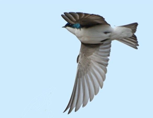 Tree Swallow 2017-9