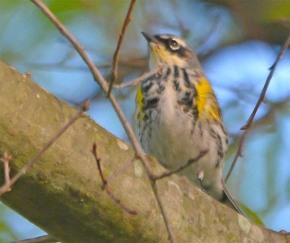 Yellow Rumped Warbler 2017-3
