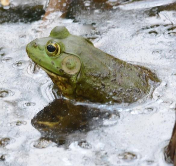 Bullfrog 10