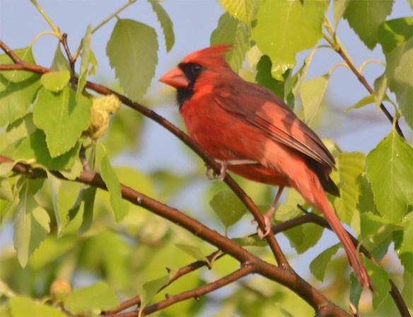 Cardinal 2017-3