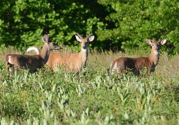 Deer 63