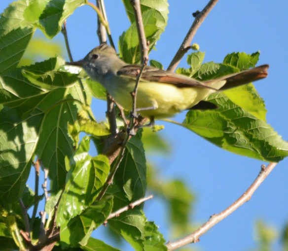 Great Crested Flycatcher 2017-1