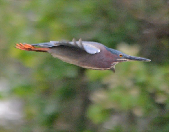 Green Heron 2017-4