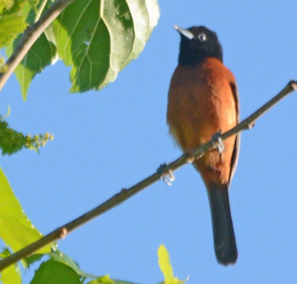 Orchard Oriole 2017-6