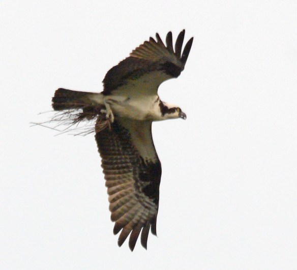 Osprey 2017-42