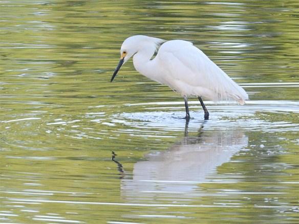 Snowy Egret 2017-28