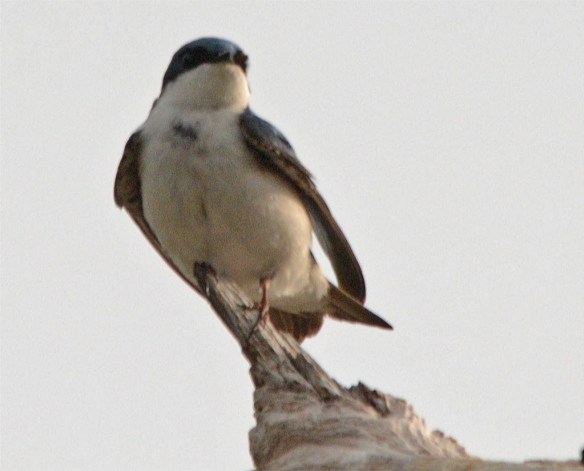Tree Swallow 2017-42
