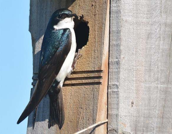 Tree Swallow 2017-44