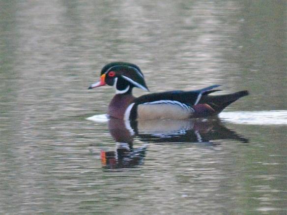 Wood Duck 2017-44