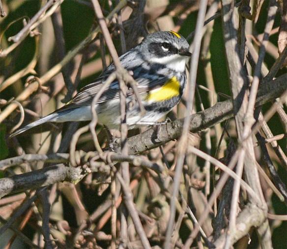 Yellow Rumped Warbler 2017-5