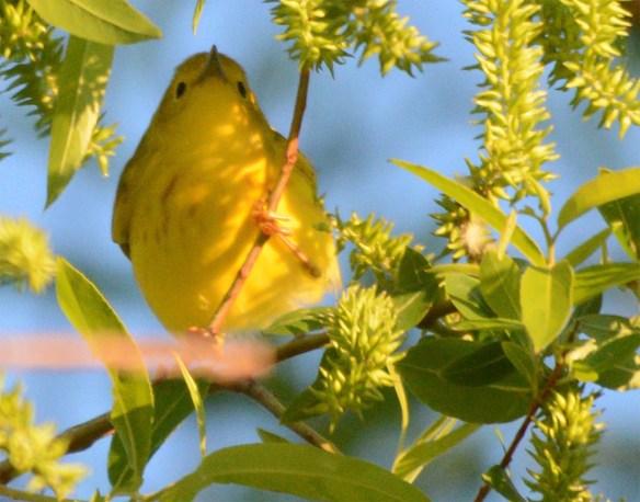 Yellow Warbler 2017-1