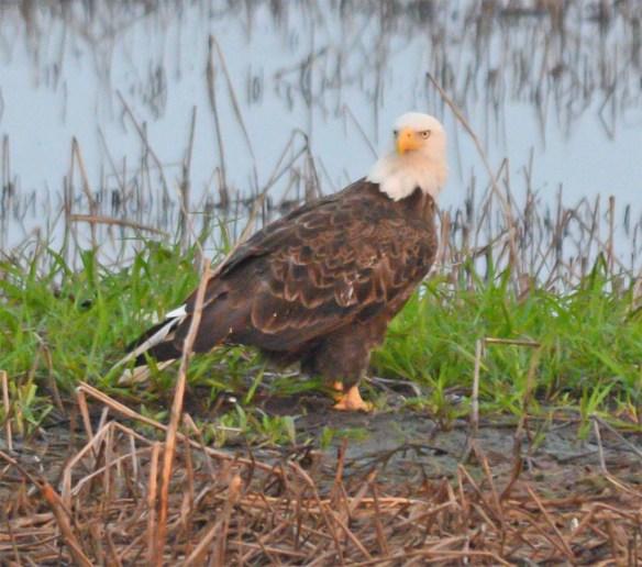 Bald Eagle 2017-112