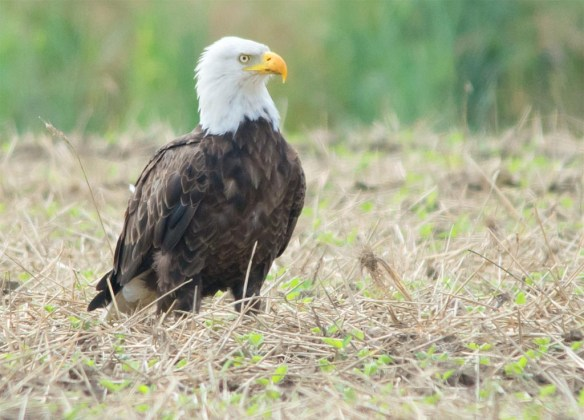 Bald Eagle 2017-118