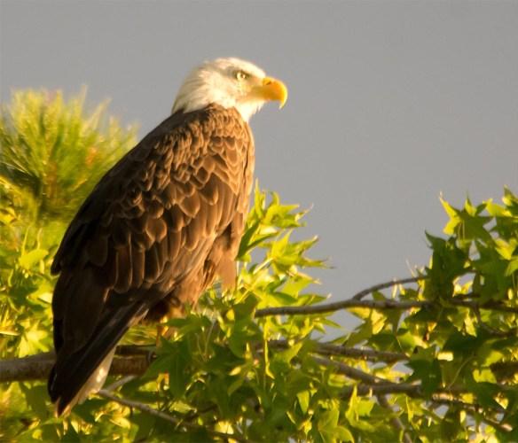 Bald Eagle 2017-122