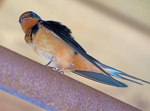 Barn Swallow 2017-11