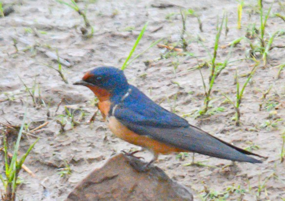 Barn Swallow 2017-5